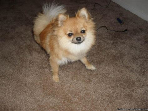 teacup pomeranian prices teacup pomeranian price free in pensacola florida cannonads