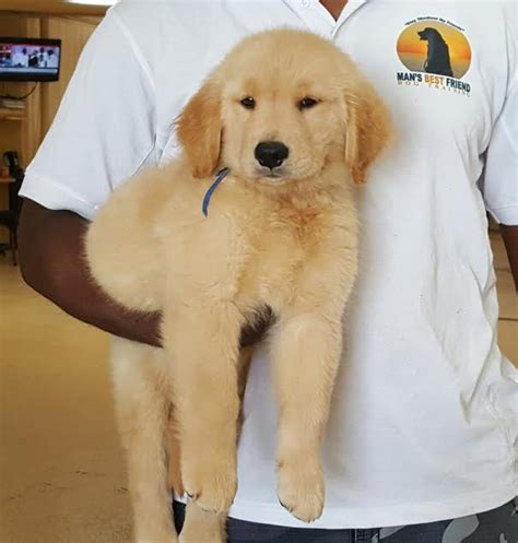 8 week golden retriever puppies for sale 8 week golden retriever puppies for sale dogs our friends photo