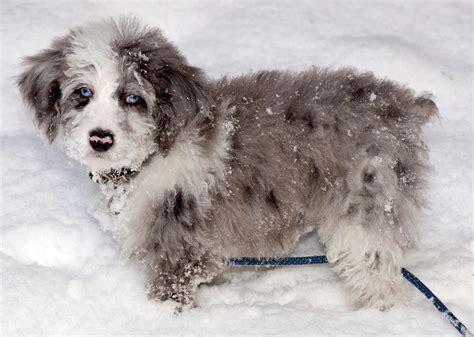 aussiedoodle puppies aussiedoodle breed 187 australian shepherd poodle mix
