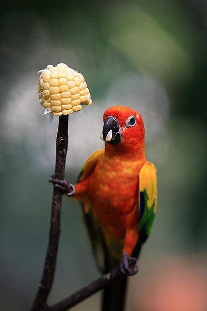17 best images about sun conure parrots on pinterest