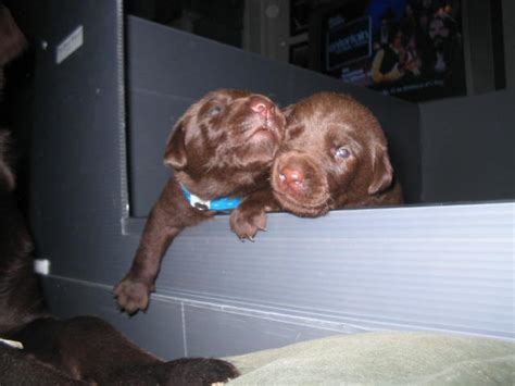 chocolate lab puppies for sale in va chocolate lab puppies for sale in va 2013 breeds picture