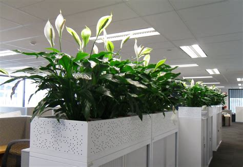 plants for the office keeping plants in the office can help clean the air and