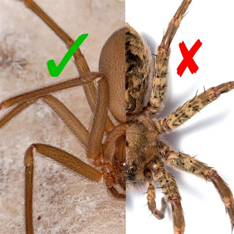eye pattern of brown recluse in defense of spiders