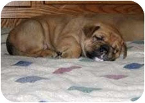 bulldog golden retriever mix golden bulldog puppies adopted puppy conyers ga bulldog golden