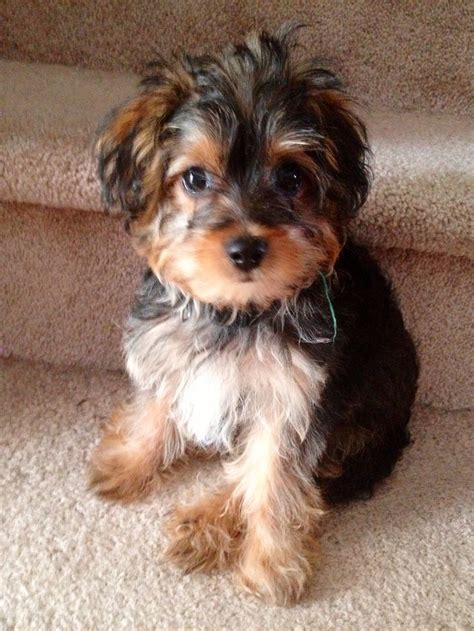 yorkie poo puppies pics 25 best ideas about yorkie poo puppies on terriers