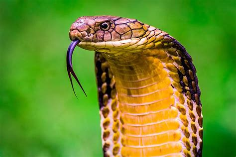 Fã R Was Benutzt Ein Bd by Die Gef 228 Hrlichsten Giftschlangen Asien
