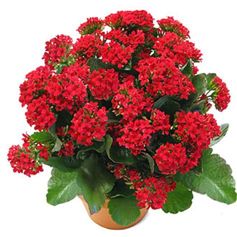 image gallery kalanchoe care