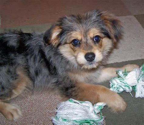 pomeranian shepherd mix pomeranian yorkie mix dogs australian shepherd mix yorkie and