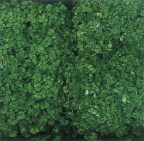 Scientific Name For Carpet Moss by Baby Tears Plant A Profile Of A House Plant Howstuffworks