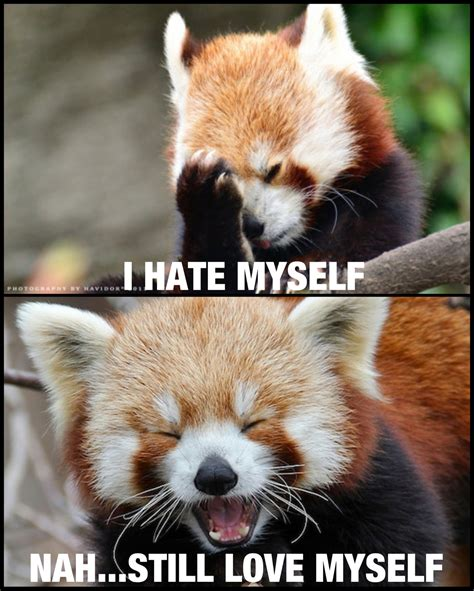 Red Panda Meme - red panda