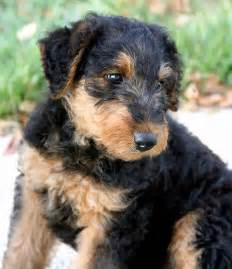 higgins the airedale terrier puppies daily puppy