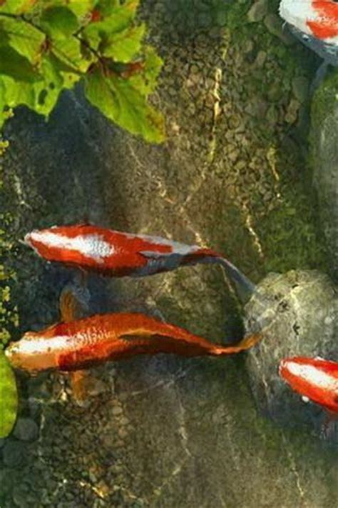 wallpaper colorful fish and interactive water koi fish live wallpaper android informer koi fish live