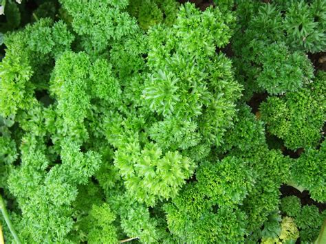 Free photo: Parsley, Herb, Spices   Free Image on Pixabay   341936