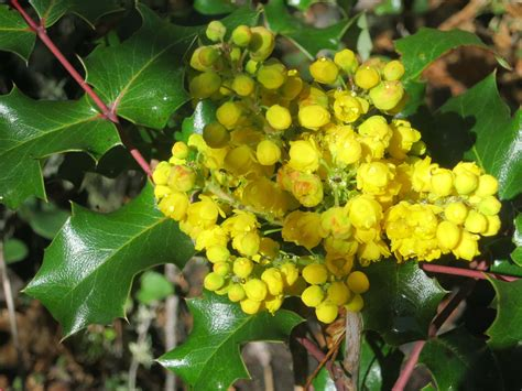 Oregon Find Oregon Grape Flower Wandering Through Time And Place