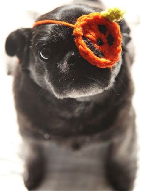 pug eye patch one eyed pug gets a pumpkin eye patch for puppies galore juxtapost