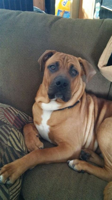 boxer mastiff mix puppies best 20 mastiff mix ideas on bull boxer boxer pit mix and boxer mastiff mix