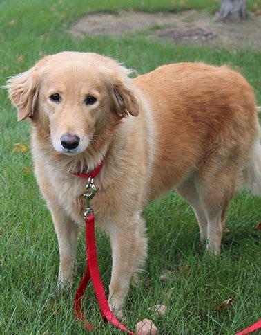 golden retrievers for sale in toledo ohio cachorros golden retriever en toledo dogs our friends photo