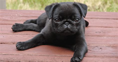 puppy 6 pug vs pug books days of summer keep your pets safe this 4th of july