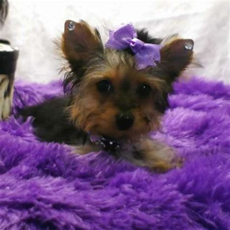 yorkie terrier teacup for sale yorkies for sale teacup terrier for sale