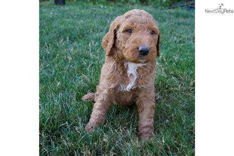 labradoodle puppies for sale near me labradoodle puppy for sale near portland oregon f492cb39 7251