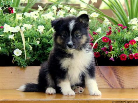 pomeranian and husky siberian husky and pomeranian mix wantwantwant much cuteness