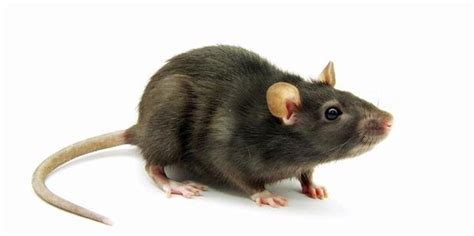 Membasmi Jamur Pada Pintu cara membasmi tikus di rumah