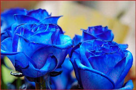 imagenes de rosas blancas y azules rosas color azul imagenes de rosas