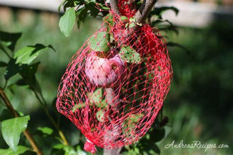 keep squirrels fruit trees weekend gardening protecting fruit trees andrea meyers
