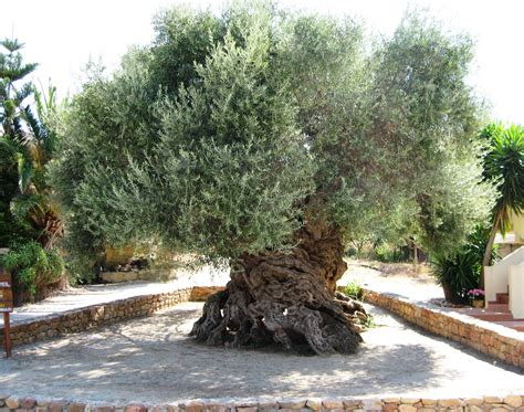 olive tree the ancient olive tree of vouves is believed to be