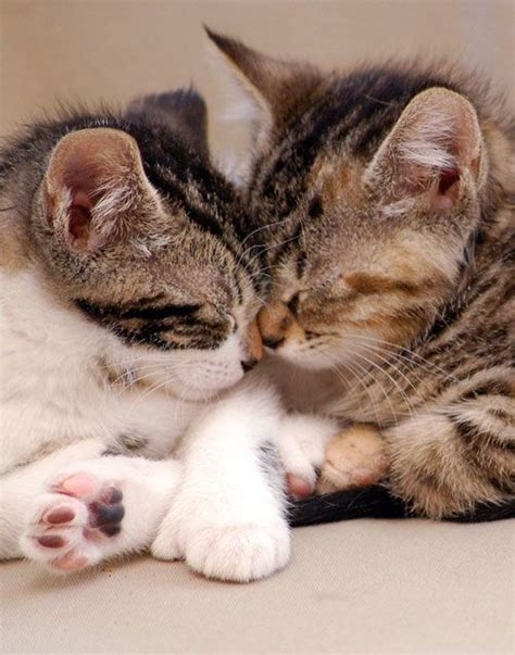 cat kiss wallpaper cute puppies and kittens kissing cute kitten kisses