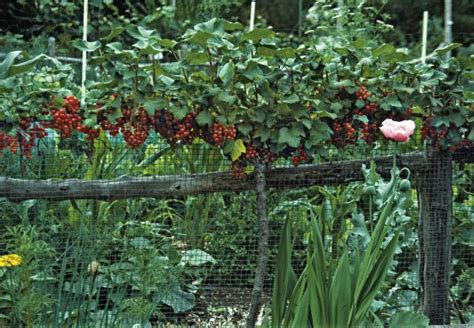 Raspberry Garden by Raspberries Gooseberries And More With Reich A Way