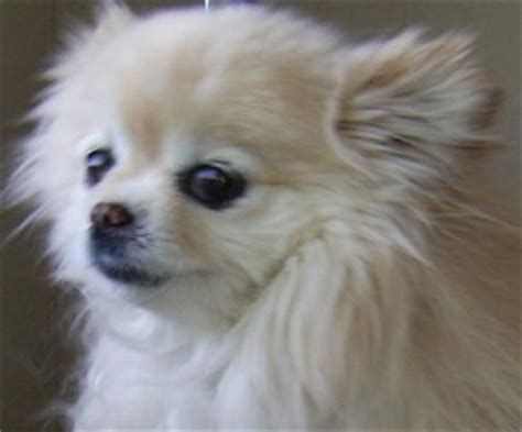 pictures of pomeranian chihuahua mix pomeranian chihuahua mix pictures of the pomeranian chihuahua