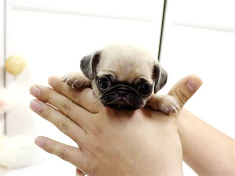 cost of a pug pugpugpug how much does a pug puppy cost