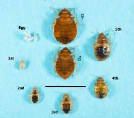 carpet beetle pared to bed bug carpet vidalondon