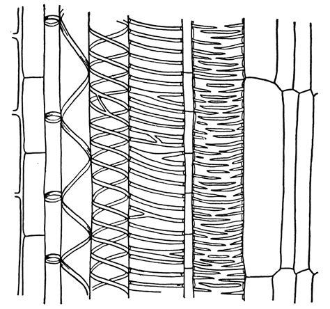 longitudinal section of xylem tissue xylem clipart etc