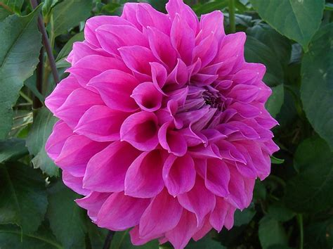 flowers for flower lovers dahlia flowers pictures