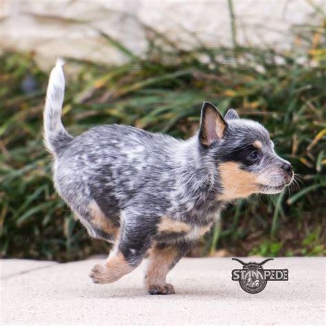 newborn blue heeler puppies australian cattle blue heeler puppy dogs its my baby pets