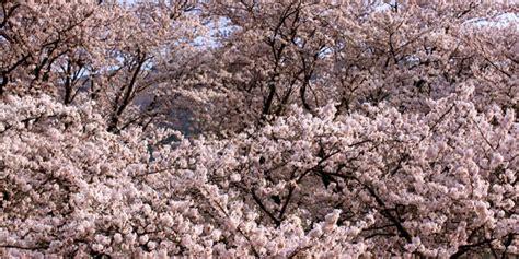 Laris Celana Gunung Pria Hlm 002 cantiknya musim semi di korea selatan seperti negeri dongeng plus kapanlagi