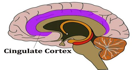 Best Resume Lies by Cingulate Cortex Assignment Point