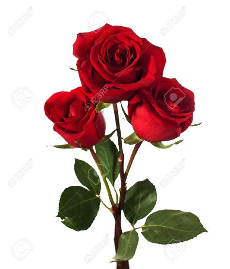 google images rose roses google search roses pinterest