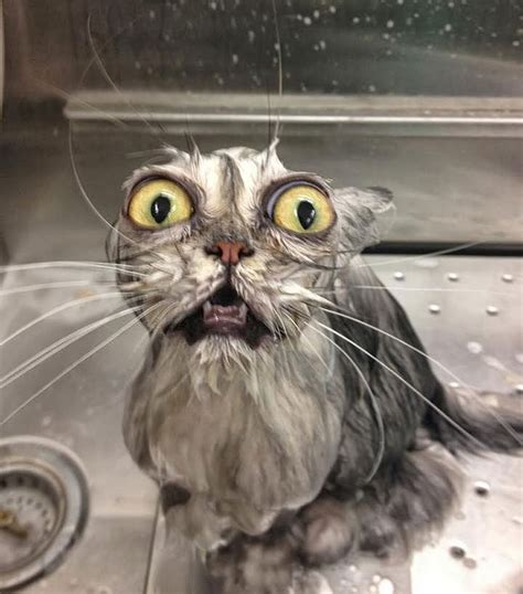 22 Hilarious Pictures Of Wet Cats   Bored Panda