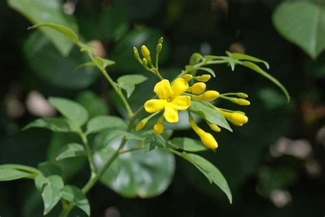 gelsomino giallo in vaso gelsomino in vaso ricanti caratteristiche