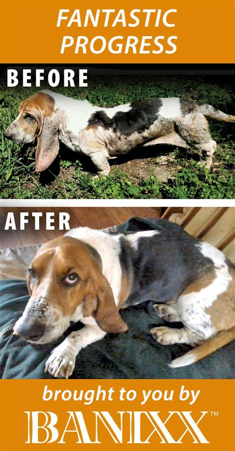 banixx for dogs 17 best images about ear infections treatment information and more on