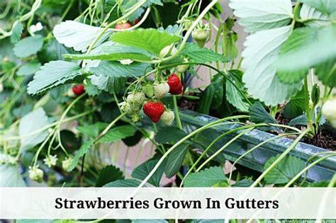 grow strawberries start  finish