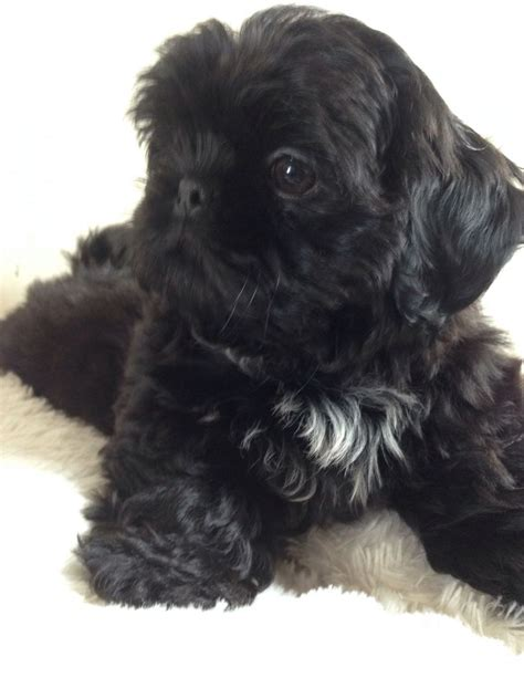 shih tzu 4 sale stunning black shih tzu puppy for sale stockport greater manchester pets4homes