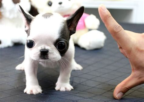 teacup bulldog puppies 17 best images about miniature bulldog on miniature i want and