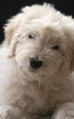 doodle name ari puppys teddy bears and goldendoodles on