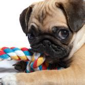best chew toys for pugs top 7 toys for pugs pug planet