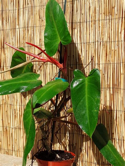 pin  philodendron