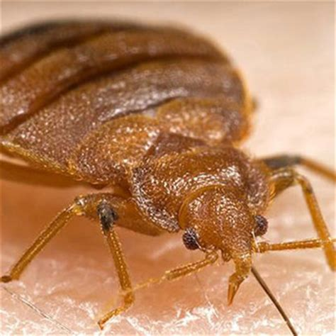 rid  bedbug pictures bites treatment signs